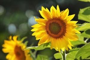 sunflower | summer landscape
