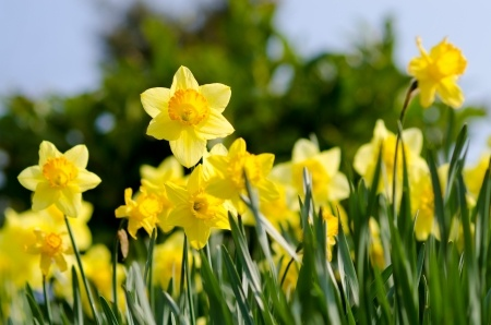 daffodils | Mansell Landscape