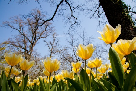 Darwin Hybrid Tulip | Mansell