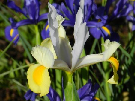Dutch Iris | Mansell Landscape