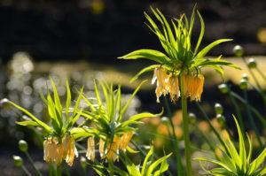 Fritillaria | Mansell Landscape