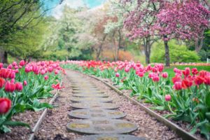 Spring Lawn Care | Tulips | Mansell Landscape