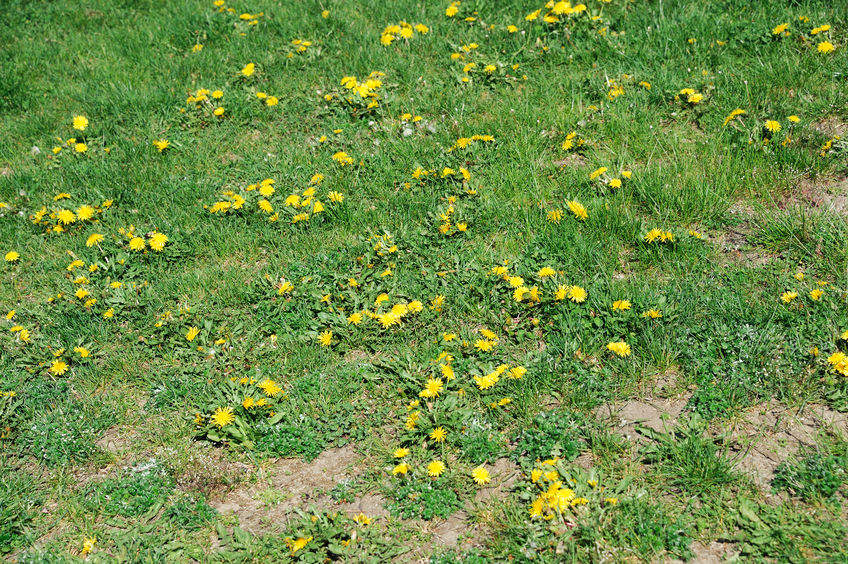 Weeds In Lawn | Mansell Landscape Management