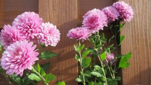 Chrysanthemum Plant   Mansell Landscape