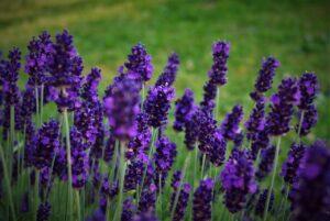 Lavender Plant   Mansell Landscape
