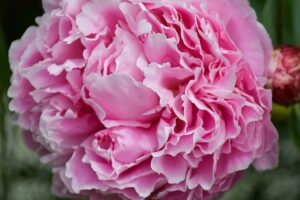 Peony Plant | Mansell Landscape