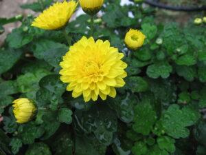 Chrysanthemums| Mansell Landscape