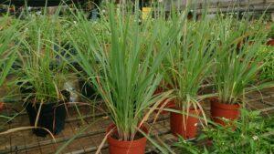 Lemongrass Plant | Mansell Landscape