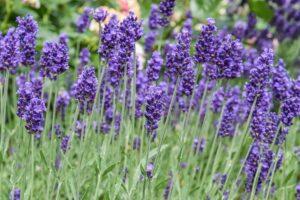 Lavender Flower | Mansell Landscape