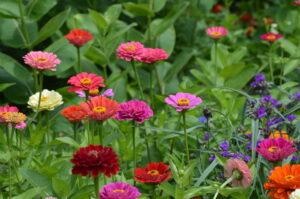 Zinnia Flower | Mansell Landscape