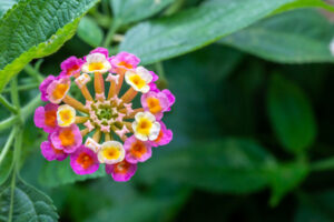 Lantana Summer Flower | Mansell Landscape