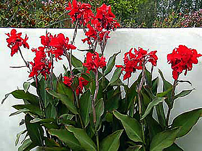 Horticulture Image: canna.jpg